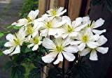 Clematis potaninii 15 seeds-Vanilla scented,blooms all summer&autumn/easy/tolerant/hardy!