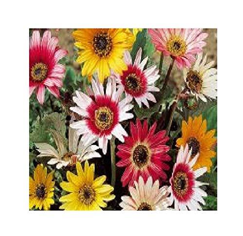 22x Bärenohr Arctotis - Harlequin Mischung Samen Garten Blumen KS8