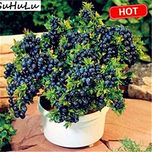 honic blueberry bonsai 100 pezzi fruit tree highbush mirtilli fai da te piante bonsai countyard piantina per la casa e il giardino facile da coltivare