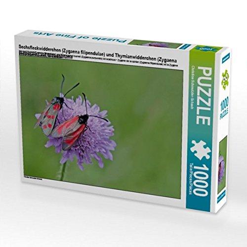 Sechsfleckwidderchen (Zygaena filipendulae) und Thymianwidderchen (Zygaena purpuralis) auf Witwenblume 1000 Teile Puzzle quer