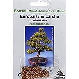 Bonsai - 75 Samen von Larix decidua, europäische Lärche, 90005
