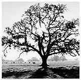 Oak Tree, Sunrise Poster Print by Ansel Adams (41 x 41)