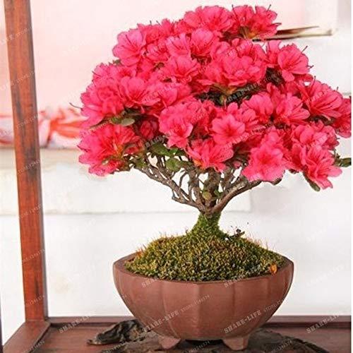 sanhoc 100 pz crape mirto - lagerstroemia indica 'natchez' perenne fiore bonsai cortile myrtle fiori giardino della casa vaso da fiori: 2
