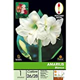 Batlle 076851bols - Bulbo Amarilis blanco 1ud