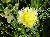 Asklepios-seeds® - 50 Semi di Carpobrotus edulis, Fico degli Ottentotti commestibile, Mesembryanthemum edulis