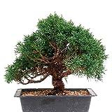 Bonsai - Juniperus chinensis, Chinesischer Wacholder, Shohin 188/01