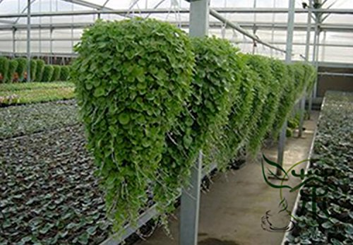 Plante herbacée Dichondra Repens Graines 300pcs, Strong Seeds Adaptabilité Mercury Bay Weed Herbe, Novel plantes Kidney graines de mauvaises herbes