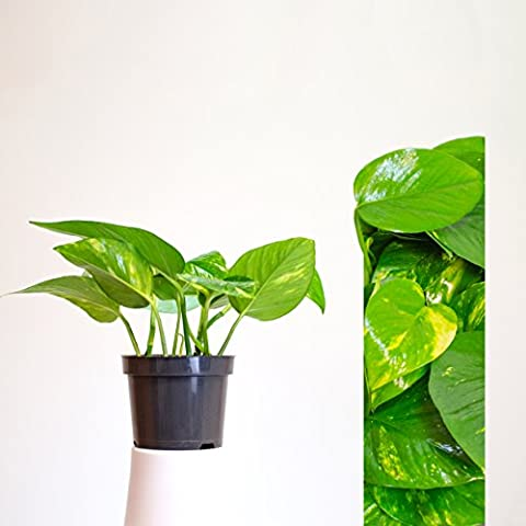 1 Pot Epipremnum aureum Potsize: 12 cm / Indoor Plant, Air Purifying, easycare, very famous houseplant - also known as golden pothos, hunter's robe, ivy arum, money plant, silver vine, Solomon Islands ivy, taro vine, devil's vine or devil's ivy