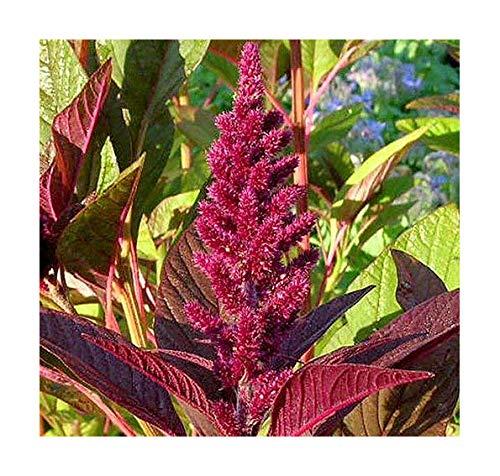 Garten-Fuchsschwanz Opopepo - Amaranthus hybridus - 100 Samen