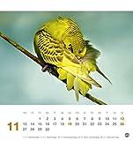 Freche Wellensittiche Postkartenkalender – Kalender 2017 - 12
