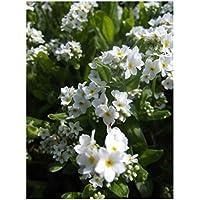 Premier Seeds Direct MYS03F 0.7g Wald-Vergissmeinnicht Samen- Weiß (Packung mit 1050)