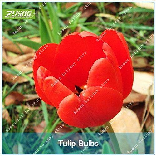 Galleria fotografica ZLKING 1 Pz Rosso Olanda Tulip Bonsai lampadina non Tulipano Sementi Tasso di germinazione facile da coltivare fresco Bulbous Root Tulipanes impianto
