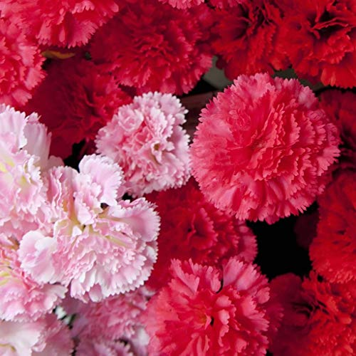 Shop Meeko GROSEEDS - Einjährige Blumen, Carnation - superbe Serie Formel Mixed - FA-CAR-02. 150 Samen Minimum pro Paket - Formel-serie