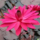 Nymphaea Red Flare - - 10 semillas
