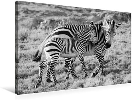 Afrique du Sud bergzebras Père en dur Noir/blanc | Des Styles Différents