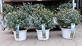 Eucalyptus Gunni Gunnii Busch Kugel Eukalyptusbaum, Ø 40 cm, Pflanze winterhart