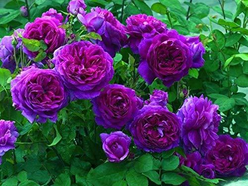 Ultrey Samenshop - 100 Stück Klettern Rose Samen Kletterpflanze GartenClematis Kletterrose Rosa Stauden Blume Bulk Seed Blumenmeer winterhart mehrjährig Lange Blütezeit