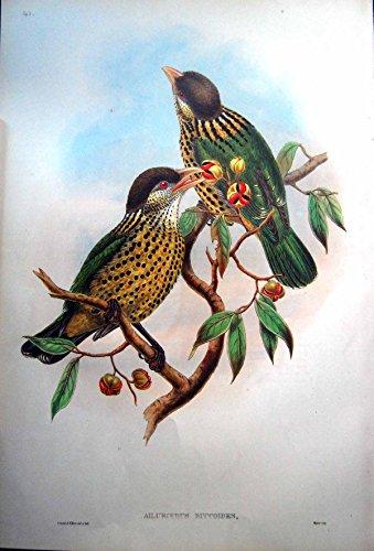 Gould Vogel-prints (Drucken Sie Barbet Wie Katzen-Vogel John Gould Ailuroedus Buccoides Temminck)