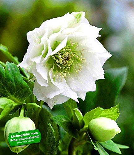 BALDUR-Garten Gefüllte Christrose