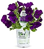 #8: Proven Winners Supertunia Royal Velvet (Petunia) Live Plant, Deep Purple Flowers, 4.25 in. grande