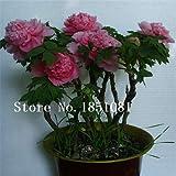 Pinkdose 10 graines/Pack, Rose rockii Arbre pivoine Graines & # 39; & # 39; Pure...