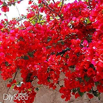 vistaric promozione della perdita!100 pz/borsa rosso bougainvillea spectabilis semi perenne semi di piante bonsai semi di fiori di bouganville, kk3mih
