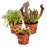Swampworld® Fleischfressende Pflanzen Mix - 3 Stück + Farbige Töpfe