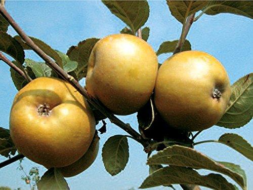 1 pianta di melo renetta ruggine albero da frutto