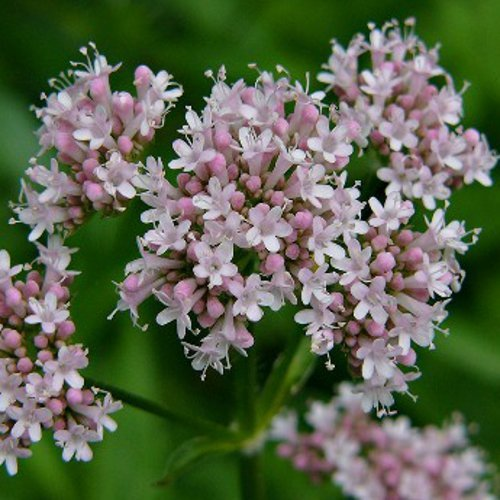 Verbena officinalis - Verbena comune - Spg - Semi