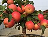 #10: Catterpillar Farm Rare Imported Apple Tree Seeds Huge Fruit 10 Seeds
