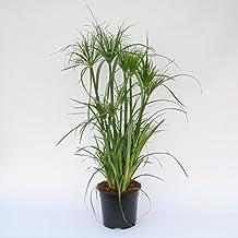 suchergebnis auf f r papyrus pflanze 4 sterne mehr. Black Bedroom Furniture Sets. Home Design Ideas