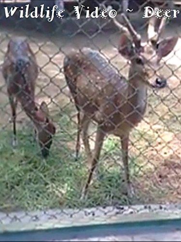clip-wildlife-video-deer