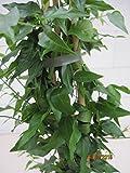 Jasminum angustifolium - Schmalblättriger Jasmin
