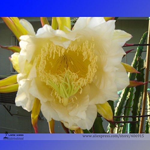 2016 NOUVELLES rares Grosses graines Yellow Dragon Fruit Pitaya Bio, Professional Pack, 30 graines / Paquet Sweet Selenicereus megalanthus
