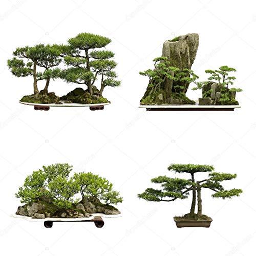 10PCS Heilige der japanischen Zeder Samen Bonsai-Baum-Samen Indoor-Anlage Heim-Garten-Dekoration Miniascape Seeds