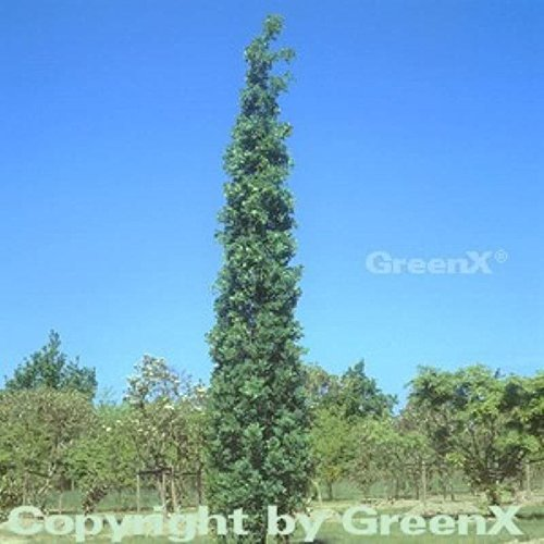 Säulen Eiche Koster 125-150cm – Quercus robur Fastigiata
