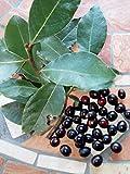 Portal Cool 50 Samen von Lorbeer Laurus nobilis Frische Samen