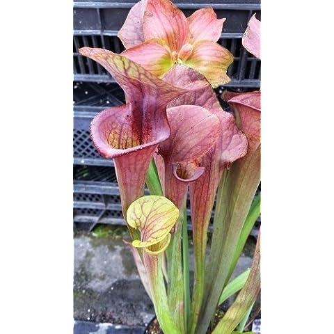 Sarracenia x moorei Brooks hybrid - Sarracena, Planta de jarra Norteamericana, Plantas trompeta, Cuerno de caza - 5