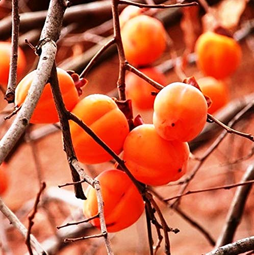 Future Exotics Aus Samen gezogen Diospyros Kaki Frosthart bis ca. minus 18°C