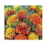 18x Samtblume Bonita Mix - Studentenblume Samen Pflanze Blume Saatgut KS240