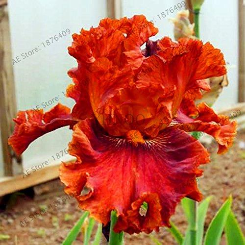 Iris Pflanzen (50pcs / bag Iris Orchideensamen, Pflanze Bonsai Schmetterling Iris Samen, Blumensamen ausdauernde Pflanze für Hausgarten 3)
