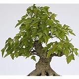 Acer buergerianum - arce tridente - 100 semillas