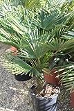 Chinesische Hanfpalme - Trachycarpus fortunei - 40cm