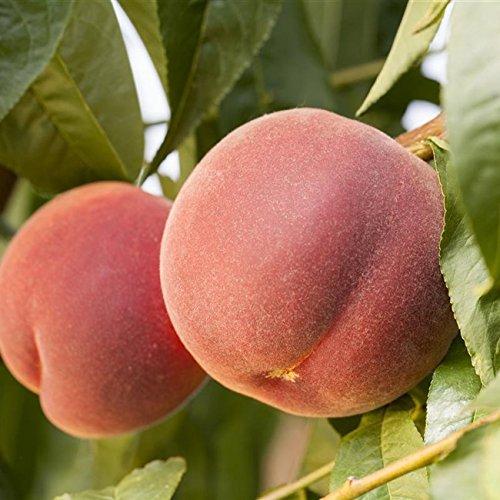 Pfirsichbaum Obstbaum Prunus persica 'Redheaven' ca. 150cm im Topf gewachsen