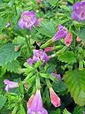 Staudenkulturen Wauschkuhn Calamintha grandiflora - Steinquendel - Staude im 9cm Topf