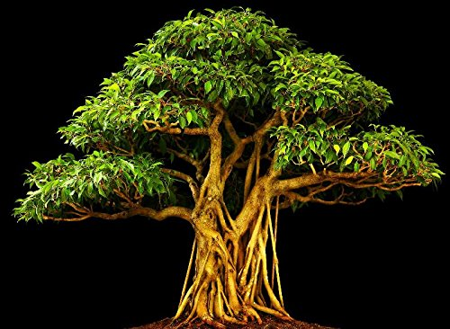 1000 Samen Pappelfeige, ficus religiosa, Buddha Baum, Bodhi Baum, Bonsai geeignet