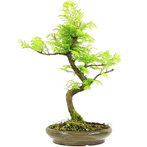 metasequoia-bonsai-10-ans-38cm