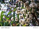 Eukalyptus Citriodora Zitronen Eukalyptus Lemon Gum Vertreibt Mücken 10 Samen