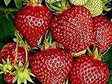 Erdbeerprofi - Erdbeere'Ostara' - 20 Pflanzen - Frigo Erdbeerpflanzen - Immertragend - Erdbeersetzlinge - Erdbeerstecklinge