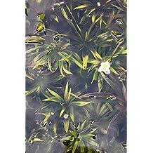Wasserpflanzen Wolff - Stratiotes aloides - winterharte Krebsschere - Wasseraloe